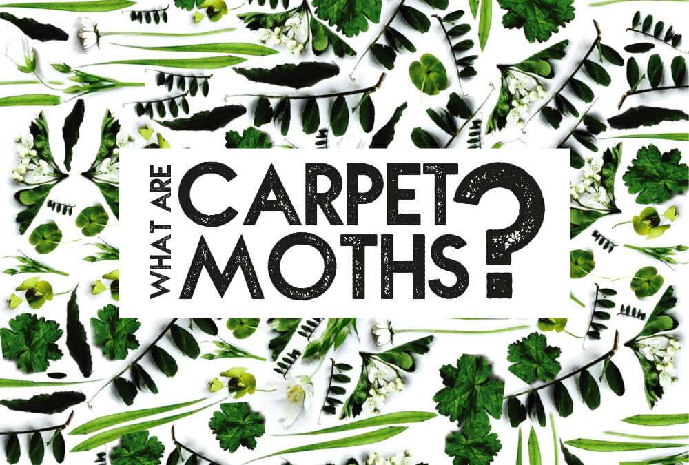 What are carpet moths