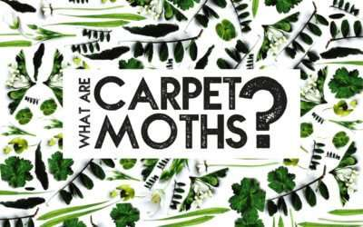 What are Carpet Moths?